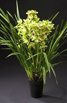 Цимбидиум Green Breeze - Cymbidium  D18 H90