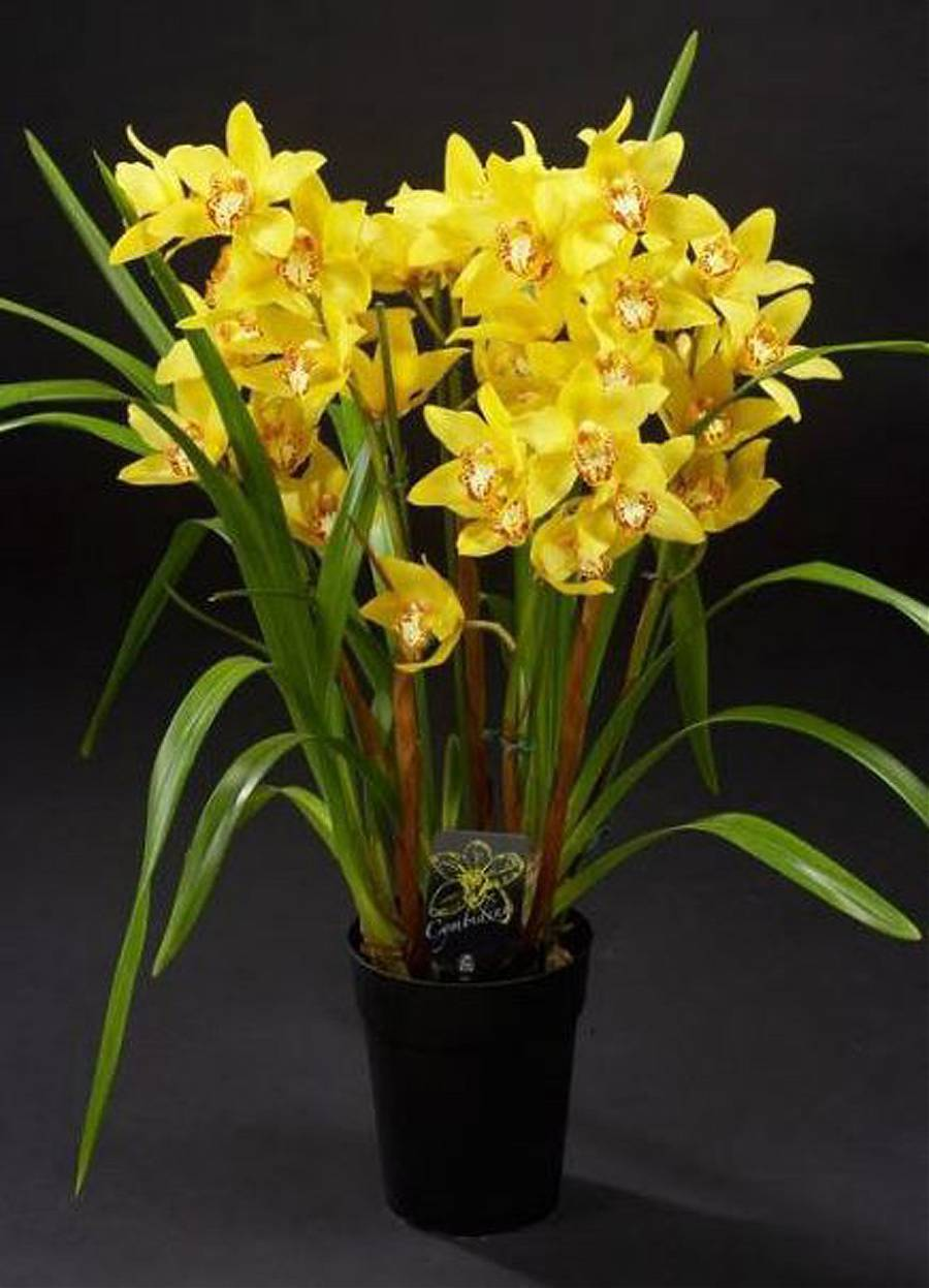 Цимбидиум Everglades Gold - Cymbidium D18 H90