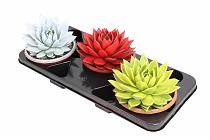 Эхеверия Миранда - Echeveria Miranda Metallic Paint D12 H15