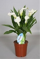 Калла в горшке - Zantedeschia Crystal Blush белая D12 H40