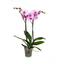 Фаленопсис Bloomington Anthura 2 цветоноса - Phalaenopsis D12 H45