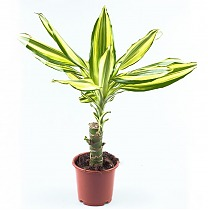 Драцена фрагранс Еллоу Кост - Dracaena fragrans Yellow Coast D14 H40