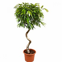 Биннедика Амстел Кинг - Ficus Amstel King D28 H130
