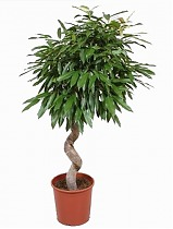 Биннедика Амстел Кинг - Ficus Amstel King D35 H160