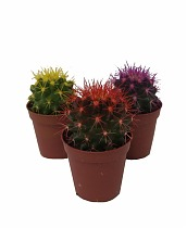 Эхинокактус Грузони микс - Echinocactus grusonii painted mix D5 H15
