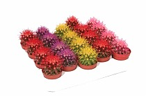 Эхинокактус Грузони микс - Echinocactus grusonii painted mix D5 H10