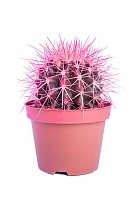 Эхинокактус Грузони - Echinocactus grusonii painted D5 H15