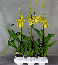 Одонтоцидиум - Odontocidium Tiger Barb Plenty 1 цветонос D12 H70