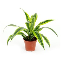 Драцена Лемон Лайм - Dracaena fr. Lemon Lime D9 H20