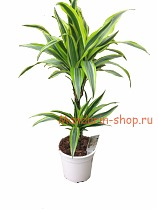 Лемон Лайм - Dracaena fr. Lemon Lime D20 H70