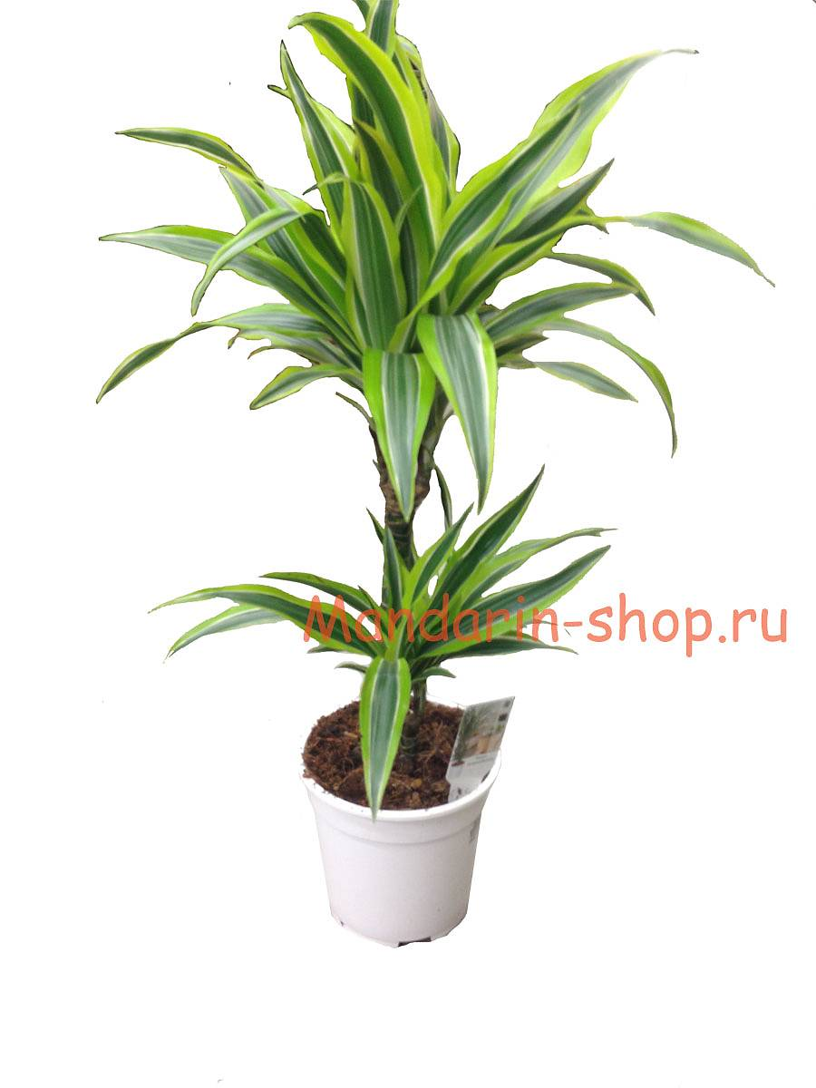 Драцена Лемон Лайм - Dracaena fr. Lemon Lime D20 H70