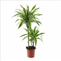 Лемон Лайм - Dracaena fr. Lemon Lime D21 H100