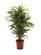 Лемон Лайм куст - Dracaena fr. Lemon Lime  D25 H120