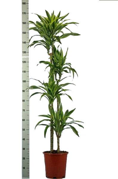 Драцена Лемон Лайм- Dracaena fr. Lemon Lime D28 H175