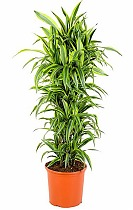 Лемон Лайм куст - Dracaena fr. Lemon Lime D35 H180