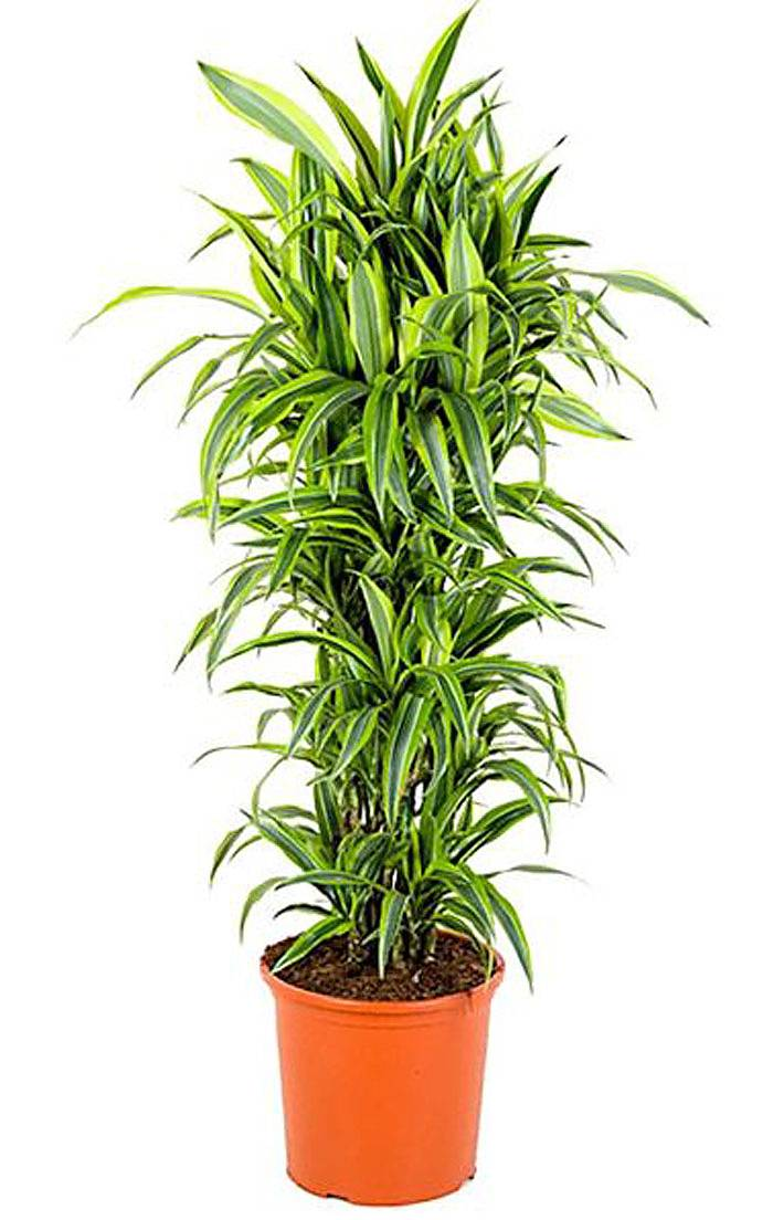 Драцена Лемон Лайм куст - Dracaena fr. Lemon Lime D35 H180