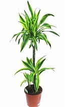 Лемон Лайм - Dracaena fr. Lemon Lime D30 H120