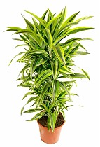 Лемон Лайм куст - Dracaena fr. Lemon Lime D40 H150