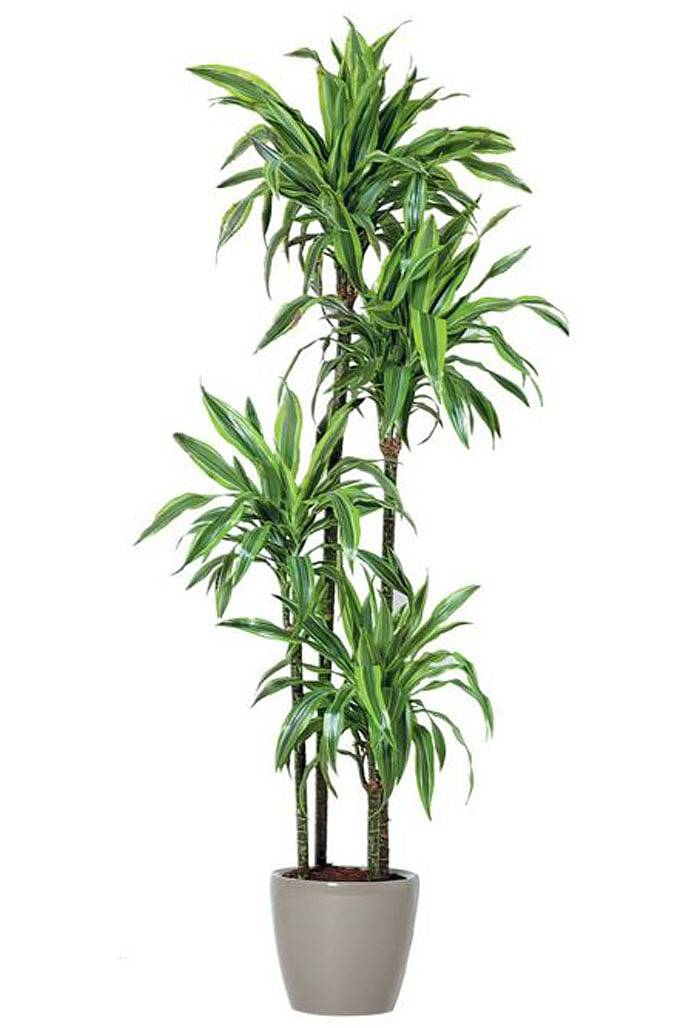 Драцена Лемон Лайм- Dracaena fr. Lemon Lime D30 H150