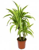 Лемон Лайм - Dracaena fr. Lemon Lime D20 H80