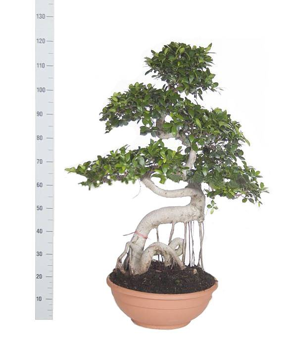 Бонсай Фикус Микрокарпа изогнутый ствол - Bonsai Ficus microcarpa D45 H120