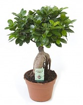 Бонсай Фикус Микрокарпа - Bonsai Ficus microcarpa D12 H25