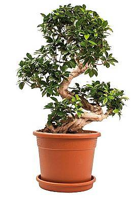 Бонсай Фикус Микрокарпа - Bonsai Ficus microcarpa D35 H100