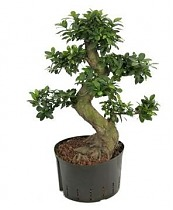 Бонсай Фикус Микрокарпа - Bonsai Ficus microcarpa D35 H90