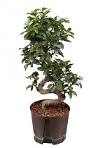 Бонсай Фикус Микрокарпа - Bonsai Ficus microcarpa D30 H75