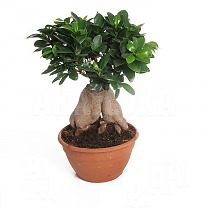 Бонсай Фикус Микрокарпа - Bonsai Ficus microcarpa D10 H20