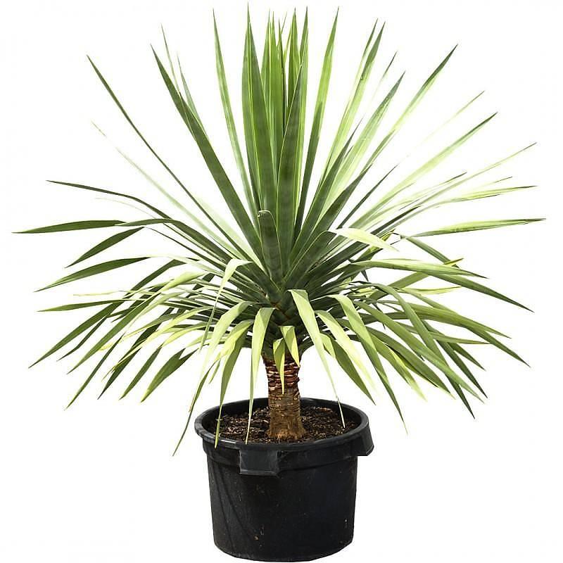 драконовое дерево фото комнатное растение уверял, что оскорблял