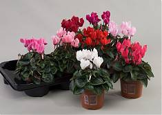 Цикламен Супер - Cyclamen Super S Mini Winter D10 H25