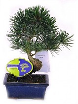 Бонсай Сосна - Bonsai Pinus D15 H25