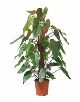 Филодендрон Ред Эмеральд - Philodendron Red Emerald  D24 H120