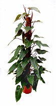 Филодендрон Ред Эмеральд - Philodendron Red Emerald  D28 H150
