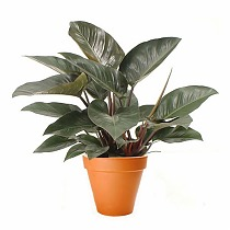 Филодендрон Конго Ред - Philodendron Congo Red  D20 H50