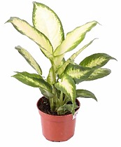 Диффенбахия Белая Амазонка - Dieffenbachia White Amazon D18 H60