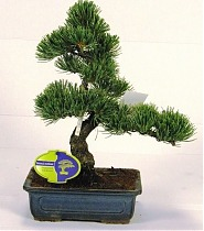 Бонсай Сосна - Bonsai Pinus D15 H35