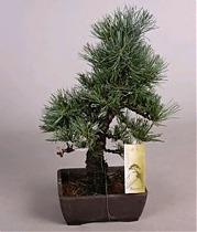 Бонсай Сосна- Bonsai Pinus D17 H45