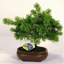 Бонсай Сосна - Bonsai Pinus D20 H45