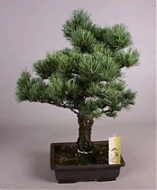 Бонсай Сосна - Bonsai Pinus D30 H50