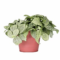Фиттония - Fittonia Purple Anne D5 H10