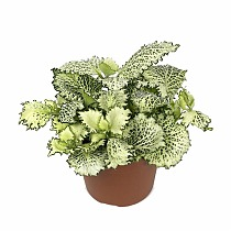 Фиттония - Fittonia Mosaic Kings Cross D5 H10