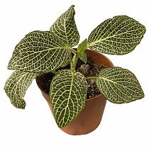Фиттония Мозаик Пурпл Ангел - Fittonia Mosaic Purple Angel D5 H10
