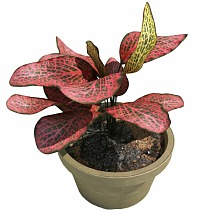 Фиттония - Fittonia verschaffeltii Red Star D5 H10