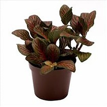 Фиттония - Fittonia verschaffeltii Red Angel D5 H10