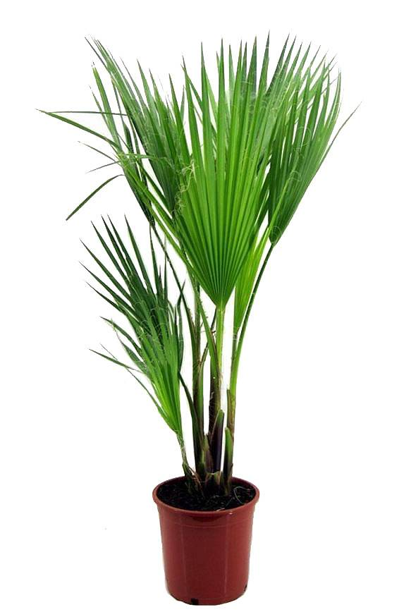 Вашингтония робуста (мощная) - Washingtonia robusta D20 H130