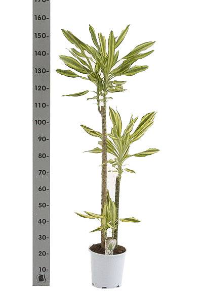Елоу Кост - Dracaena fr. Yellow Coast D25 H150