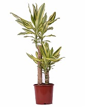 Драцена фрагранс Еллоу Кост - Dracaena fragrans Yellow Coast D25 H120