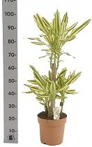 Драцена фрагранс Еллоу Кост - Dracaena fragrans Yellow Coast D21 H100